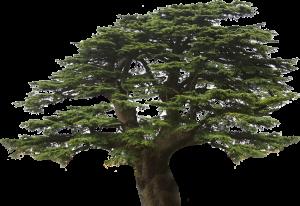 V. Cedar Tree